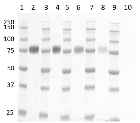 Anti Human CD33 Antibody, clone WM53 thumbnail image 8