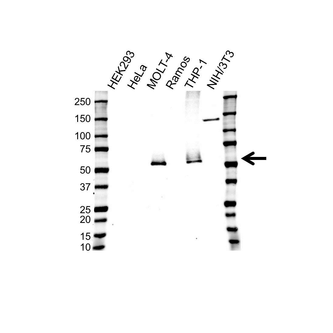 Anti CD4 Antibody, clone UMAB64 (PrecisionAb™ Monoclonal Antibody) gallery image 1