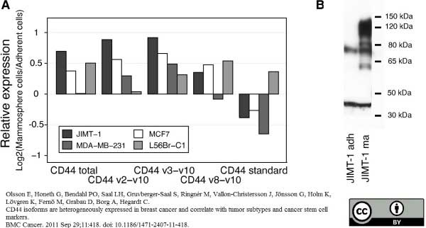 Anti Human CD44 Antibody, clone 156-3C11 thumbnail image 5