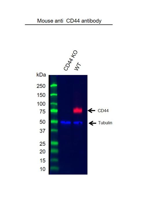 Anti Human CD44 Antibody, clone 156-3C11 thumbnail image 8