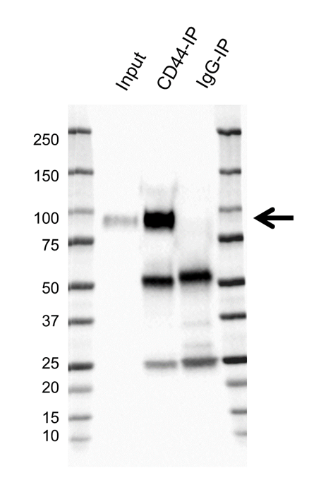 Anti CD44 Antibody, clone 156-3C11 (PrecisionAb Monoclonal Antibody) thumbnail image 2