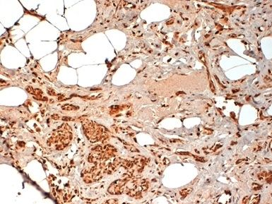 Anti Human CD44 Antibody, clone F10-44-2 thumbnail image 4