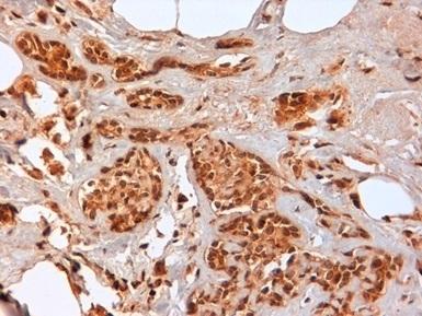 Anti Human CD44 Antibody, clone F10-44-2 thumbnail image 5