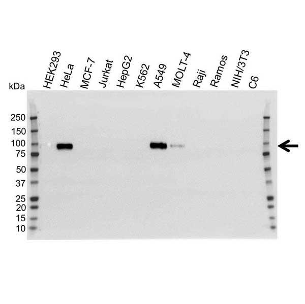 Anti CD44 Antibody (PrecisionAb™ Monoclonal Antibody) gallery image 1