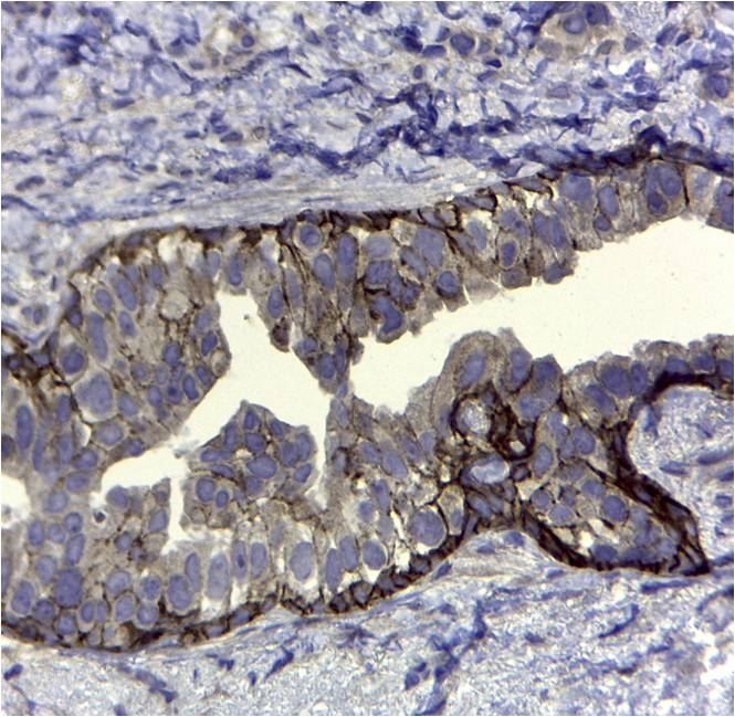 Anti Human CD44v5 Antibody, clone VFF-8 thumbnail image 2