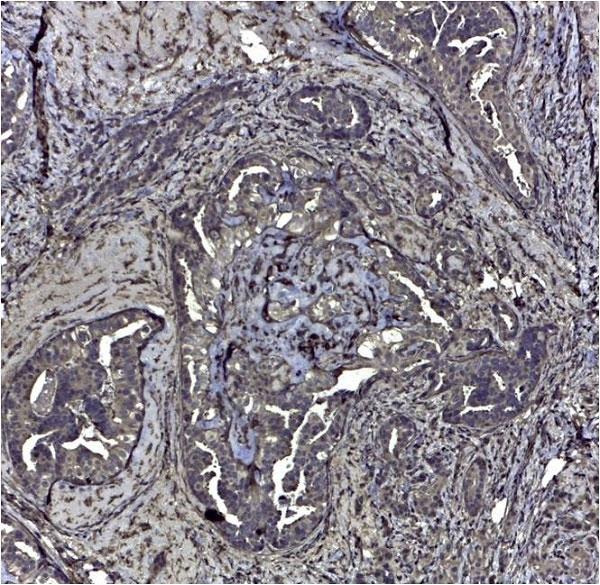Anti Human CD44v6 Antibody, clone VFF-7 thumbnail image 1
