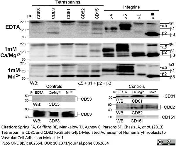 Anti Human CD49d Antibody, clone HP2/1 thumbnail image 5