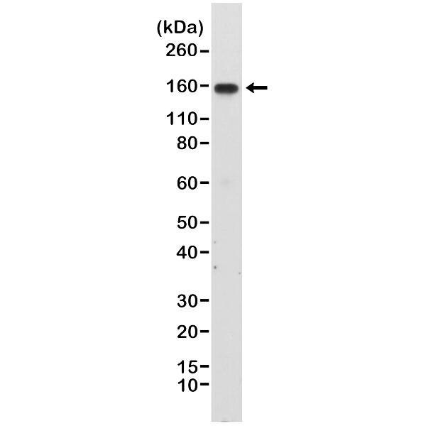 Anti CD49d Antibody, clone RM268 thumbnail image 1