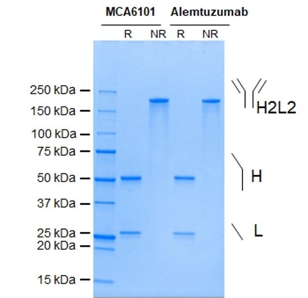 Anti CD52 (Alemtuzumab Biosimilar) Antibody, clone Campath-1H thumbnail image 1