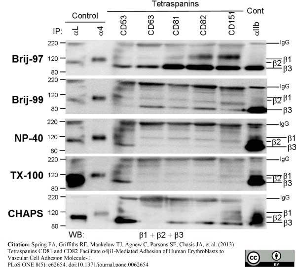 Anti Human CD53 Antibody, clone MEM-53 thumbnail image 5