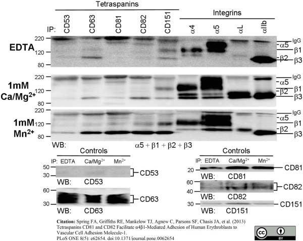 Anti Human CD53 Antibody, clone MEM-53 thumbnail image 6