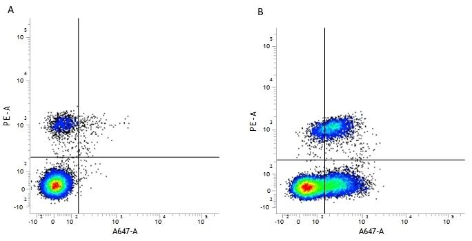 Anti Human CD54 Antibody, clone 15.2 thumbnail image 3