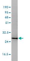 Anti Human CD58 Antibody, clone 2D11-B10 thumbnail image 4