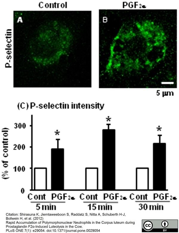 Anti Human CD62P Antibody, clone Psel.KO.2.7 thumbnail image 5