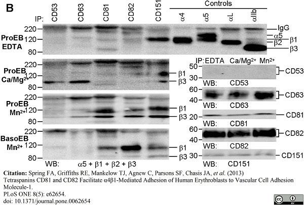 Anti Human CD63 Antibody, clone MEM-259 thumbnail image 5