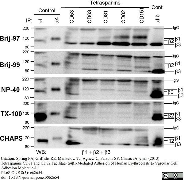 Anti Human CD63 Antibody, clone MEM-259 thumbnail image 6