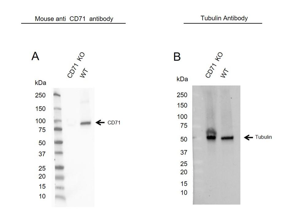 Anti CD71 (soluble) Antibody, clone 13E4 (PrecisionAb Monoclonal Antibody) thumbnail image 2