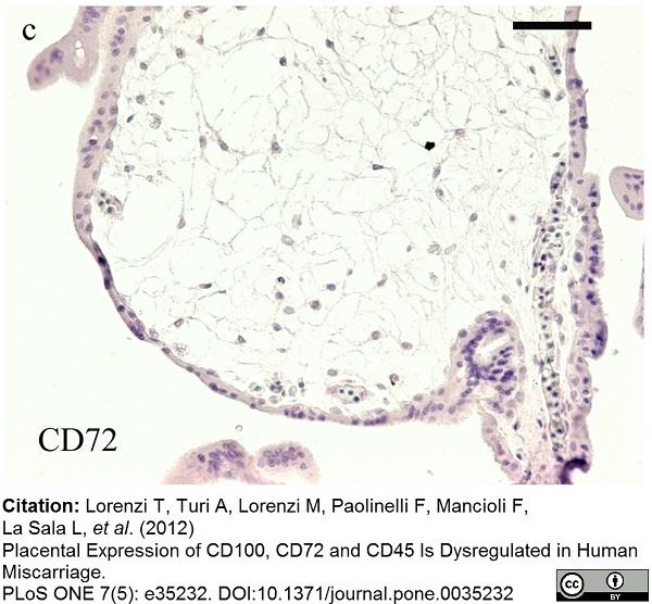 Anti Human CD72 Antibody, clone Bu40 thumbnail image 2
