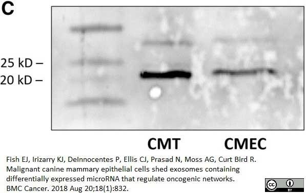 Anti Human CD9 Antibody, clone MM2/57 thumbnail image 5