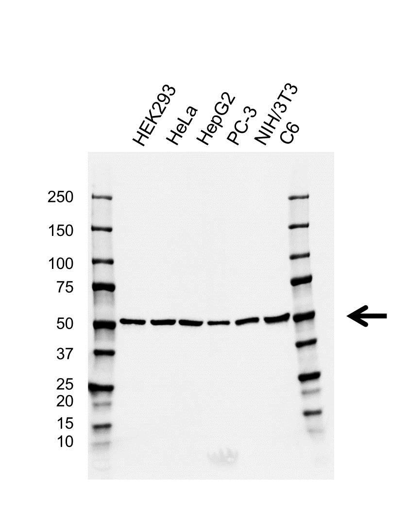 Anti CDC20 Antibody, clone GH02/4F3 (PrecisionAb™ Monoclonal Antibody) gallery image 1