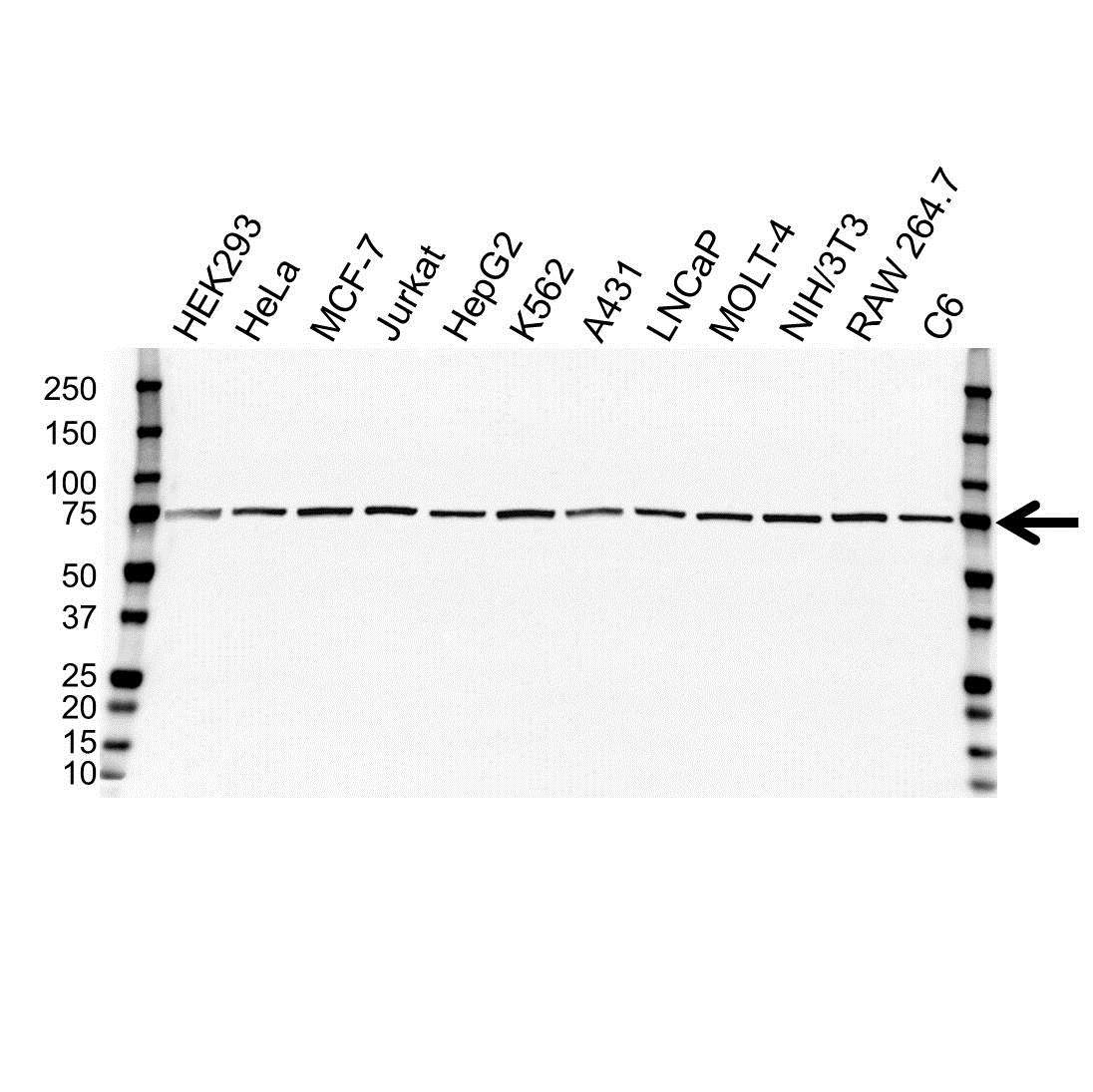 Anti Cdc25C Antibody (PrecisionAb™ Monoclonal Antibody) gallery image 1