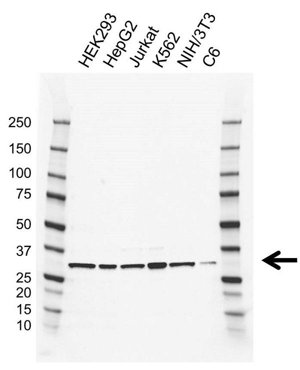 Anti CDC34 Antibody, clone AB02/4C3 (PrecisionAb Monoclonal Antibody) gallery image 1
