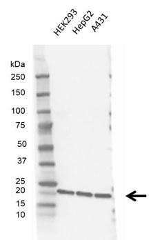 Anti CDC42 Antibody, clone 16C2-C10 (PrecisionAb Monoclonal Antibody) gallery image 1