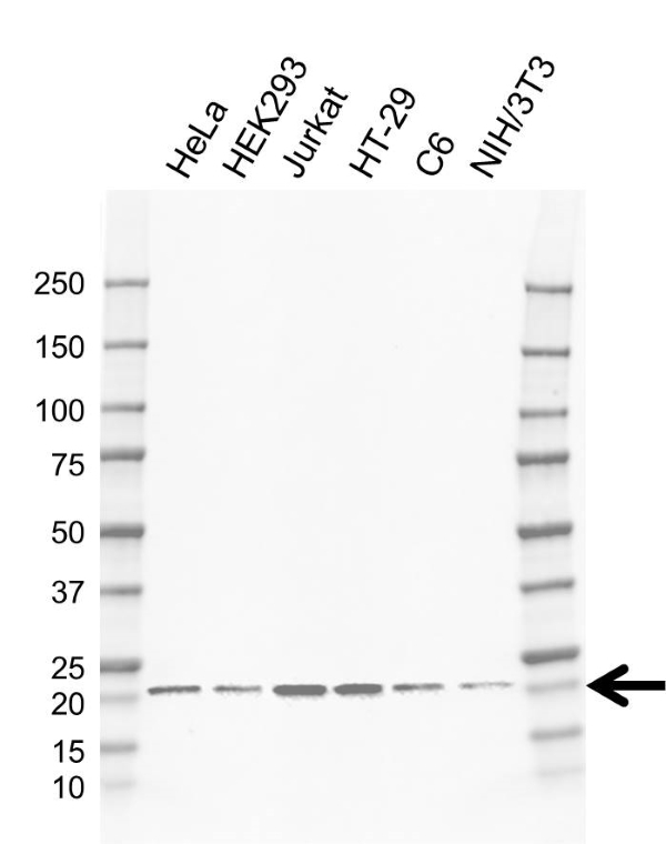 Anti CDC42 Antibody, clone EF01/3E10 (PrecisionAb Monoclonal Antibody) thumbnail image 1