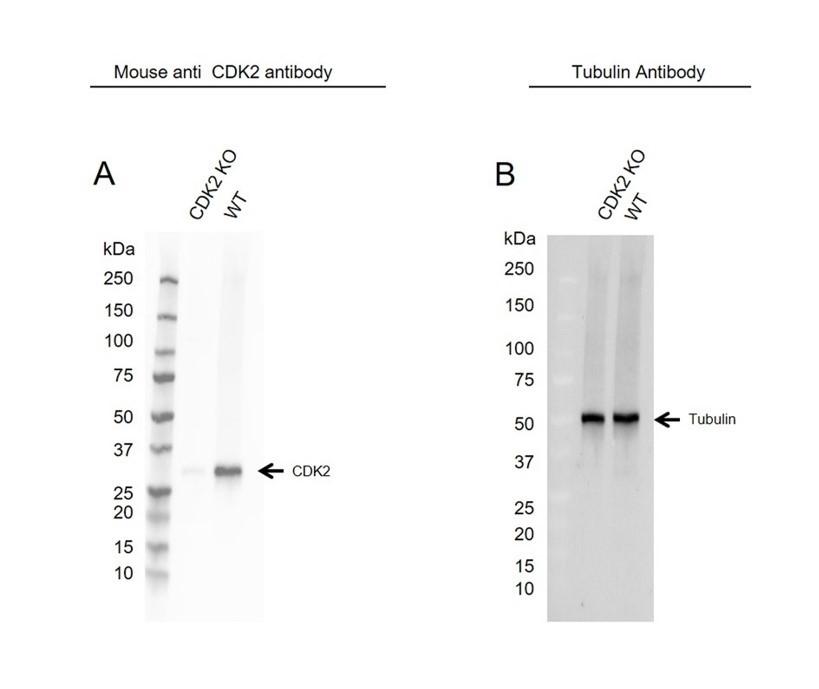 Anti CDK2 Antibody, clone 1A6 (PrecisionAb Monoclonal Antibody) thumbnail image 1