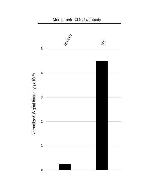 Anti CDK2 Antibody, clone 1A6 (PrecisionAb Monoclonal Antibody) thumbnail image 2