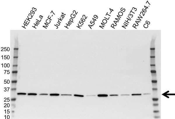Anti CDK2 Antibody, clone 1A6 (PrecisionAb Monoclonal Antibody) thumbnail image 3