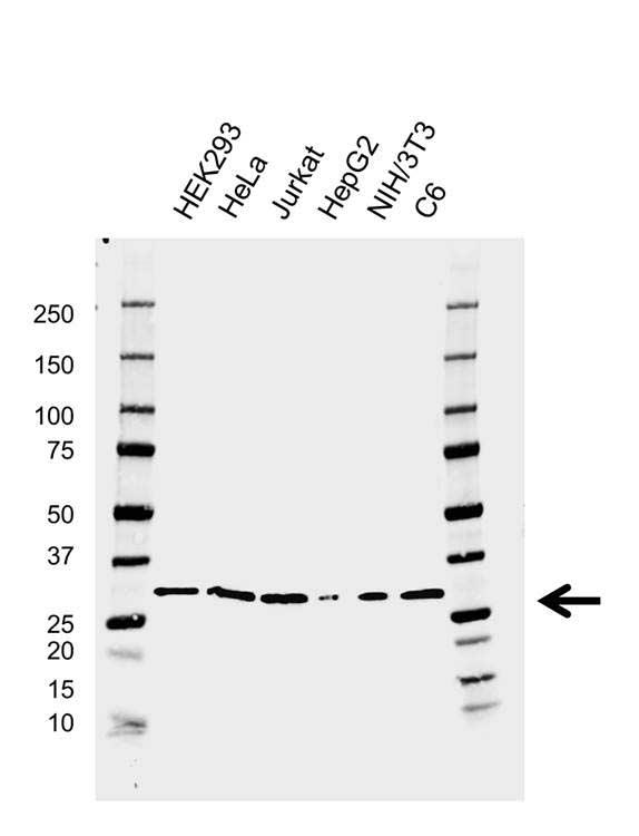 Anti CDK5 Antibody, clone AB04/3H6 (PrecisionAb™ Monoclonal Antibody) gallery image 1