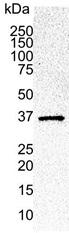 Anti Human CDK6 Antibody, clone DCS-83.1 gallery image 1