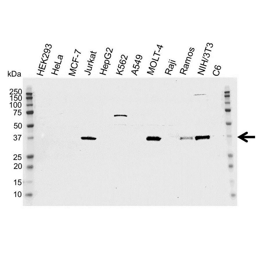 Anti CDK6 Antibody (PrecisionAb™ Monoclonal Antibody) gallery image 1