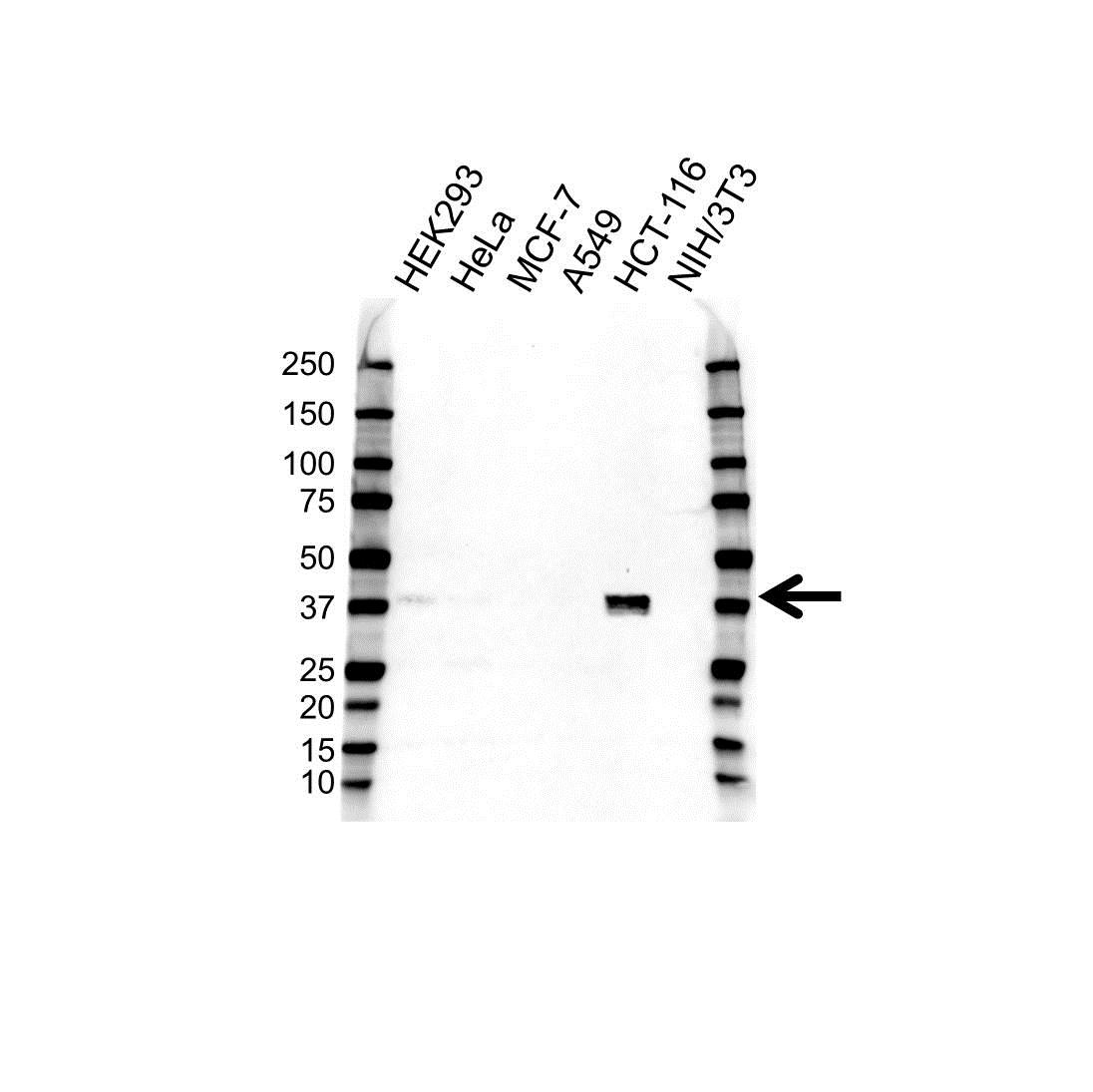 Anti CDX2 Antibody (PrecisionAb™ Monoclonal Antibody) gallery image 1