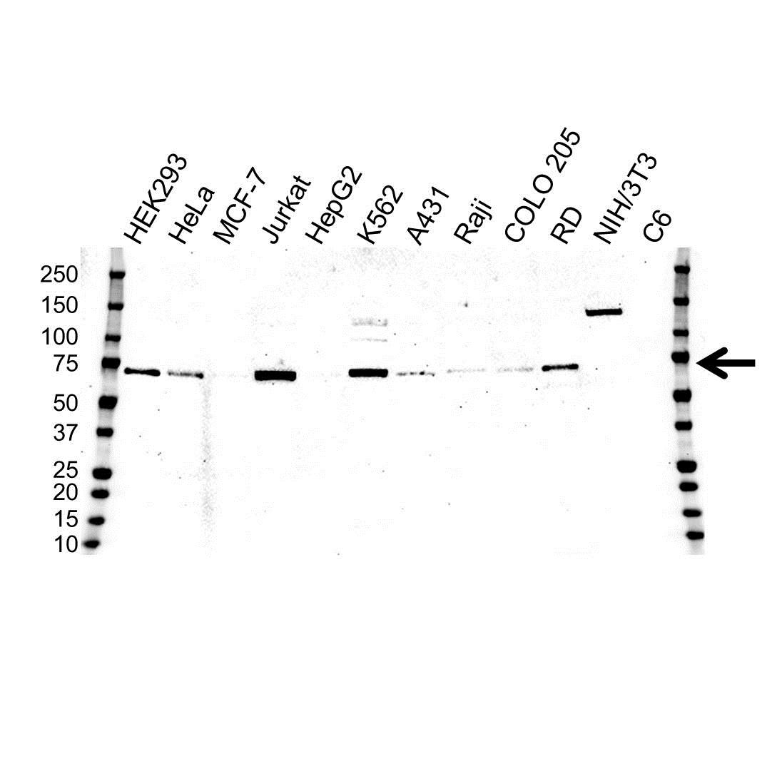 Anti CHAF1B Antibody, clone OTI2D5 (PrecisionAb Monoclonal Antibody) gallery image 1