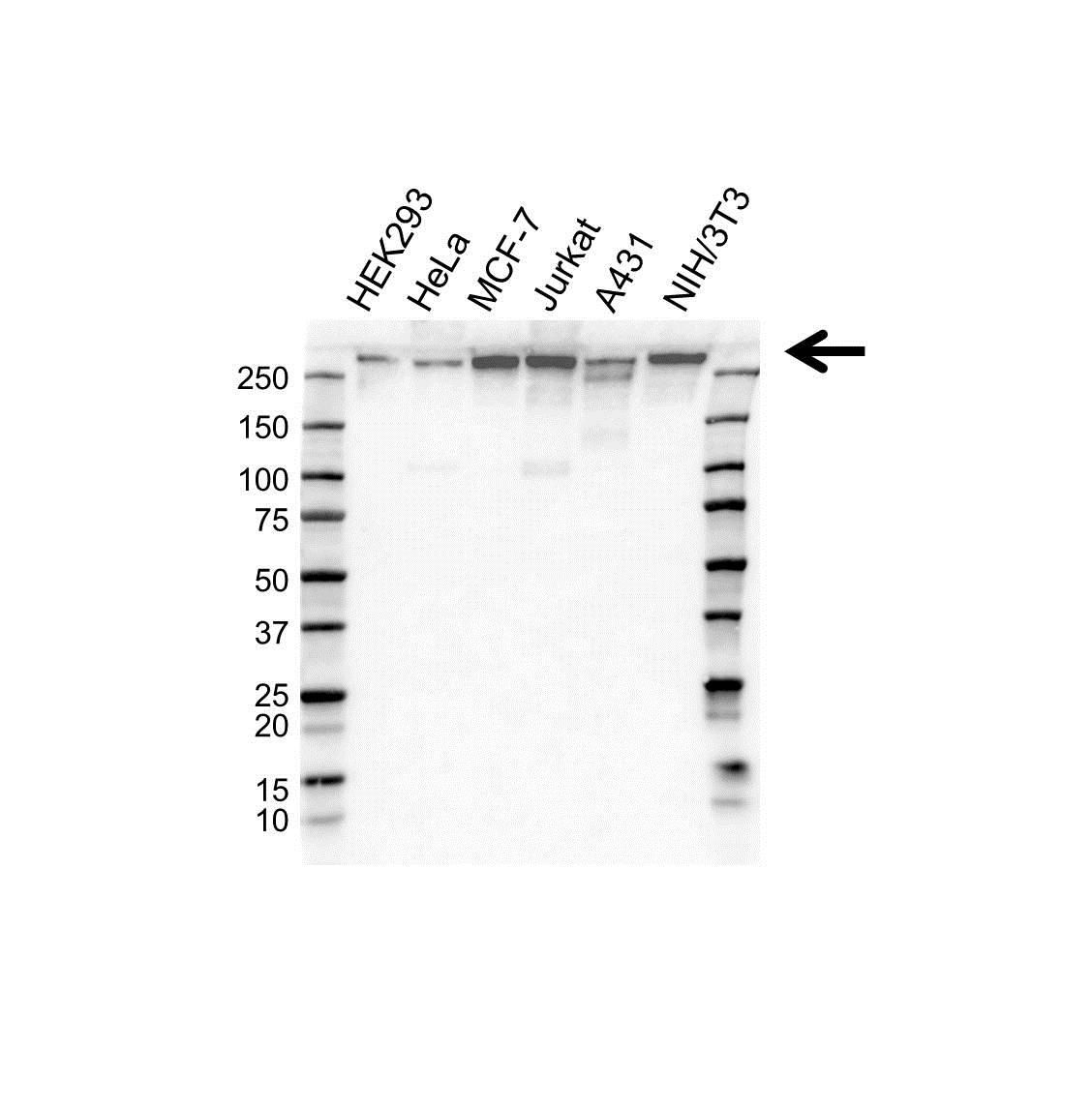 Anti CHD3 Antibody (PrecisionAb Monoclonal Antibody) gallery image 1