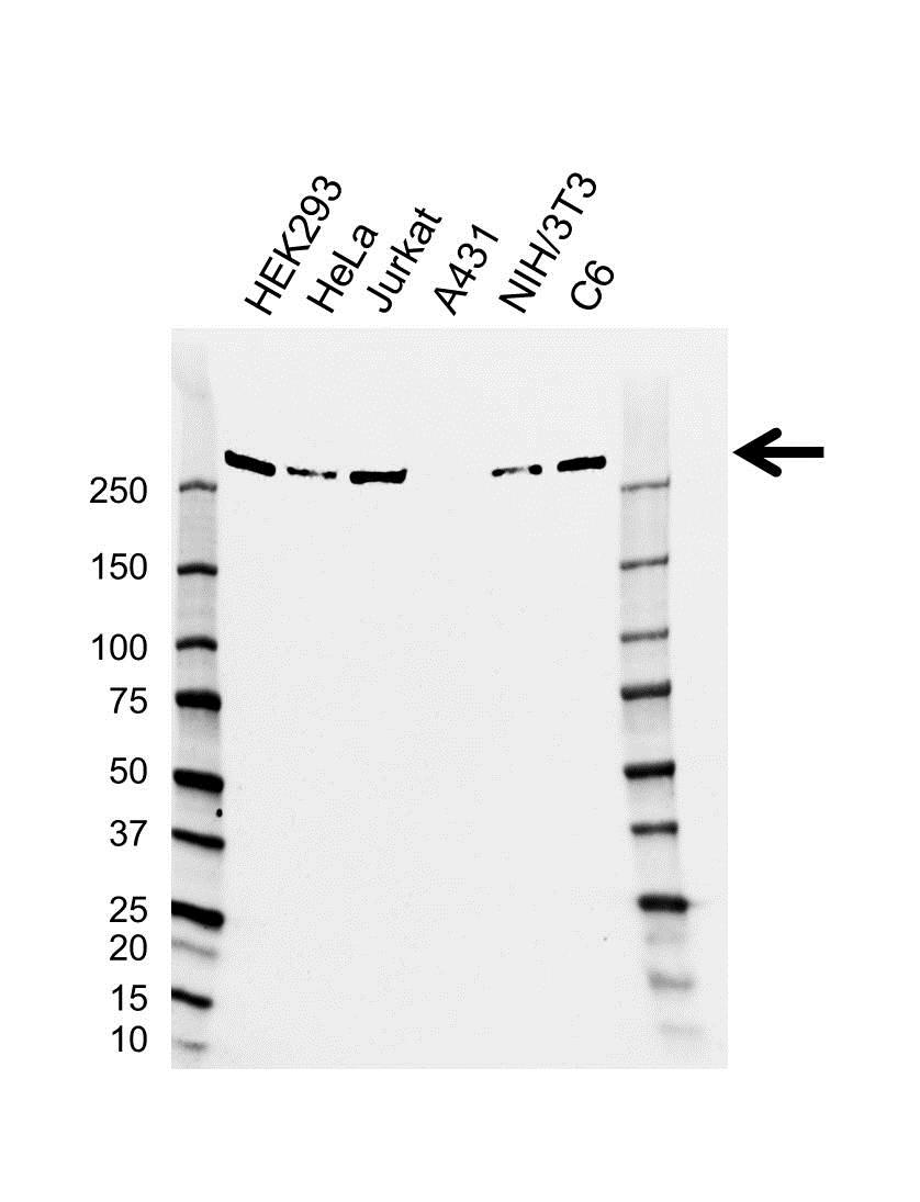 Anti CHD4 Antibody, clone AB01/2B7 (PrecisionAb Monoclonal Antibody) gallery image 1