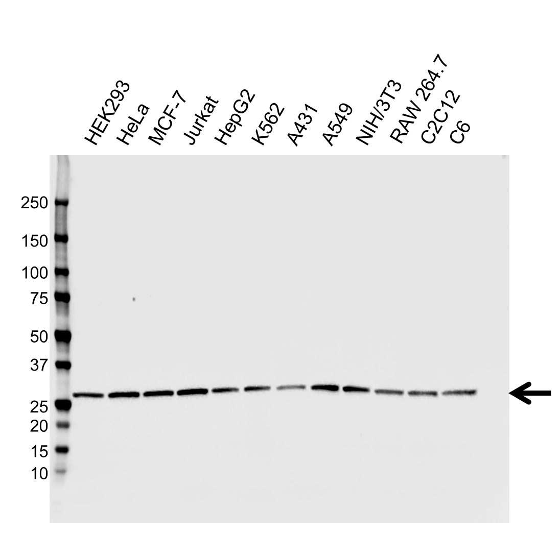 Anti CHP2 Antibody, clone CPTC19 (PrecisionAb™ Monoclonal Antibody) gallery image 1
