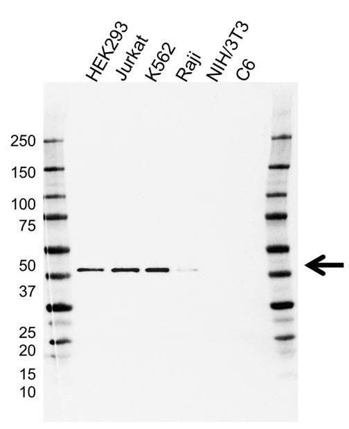 Anti CIAPIN1 Antibody, clone AB04/1G9 (PrecisionAb Monoclonal Antibody) gallery image 1