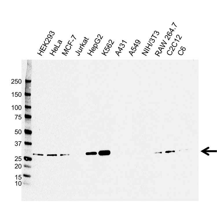 Anti CLIC1 Antibody, clone CPTC32 (PrecisionAb™ Monoclonal Antibody) gallery image 1