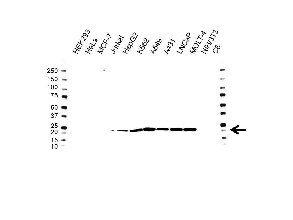 Anti COMMD1 Antibody, clone OTI3B3 (PrecisionAb™ Monoclonal Antibody) gallery image 1