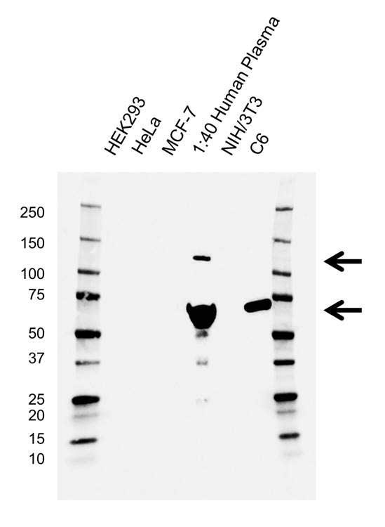 Anti Complement C3 Antibody, clone AB03/3G11 (PrecisionAb™ Monoclonal Antibody) gallery image 1