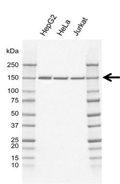 Anti Copa Antibody, clone AB01/4A11 (PrecisionAb Monoclonal Antibody) thumbnail image 1