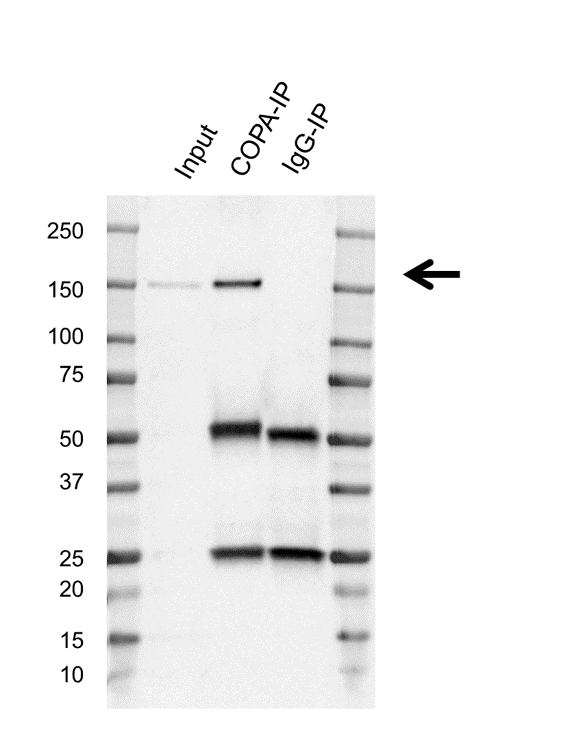 Anti Copa Antibody, clone AB01/4A11 (PrecisionAb Monoclonal Antibody) thumbnail image 2