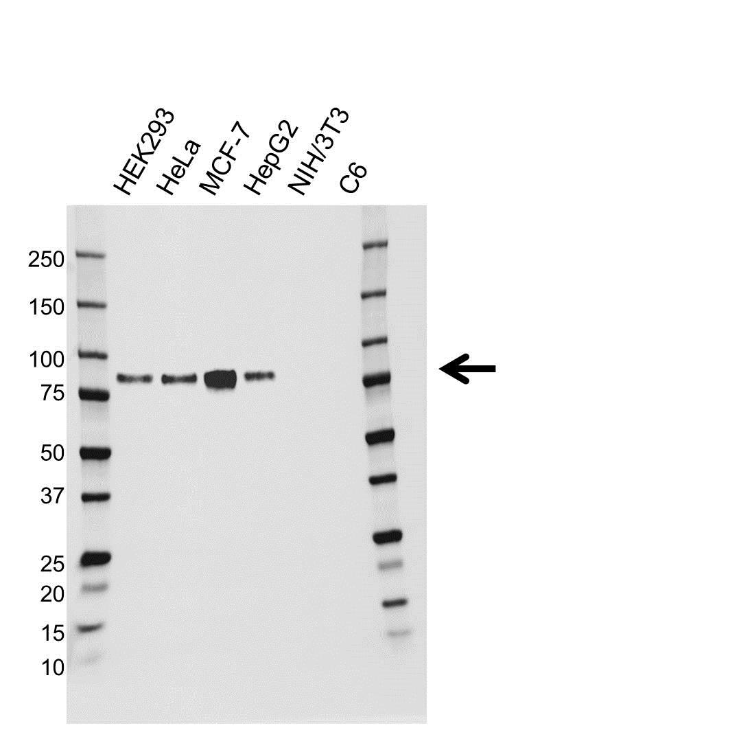 Anti Cortactin Antibody (PrecisionAb™ Monoclonal Antibody) gallery image 1