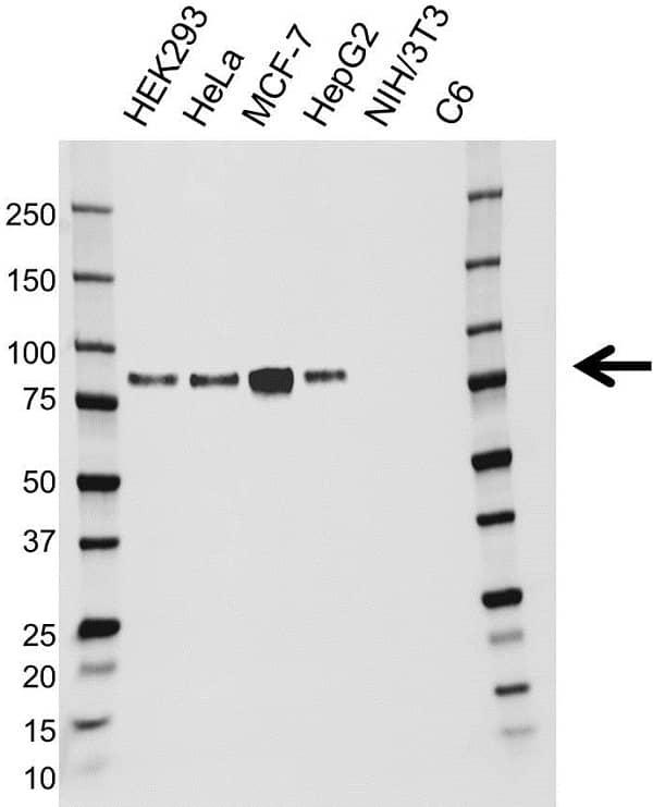 Anti Cortactin Antibody (PrecisionAb Monoclonal Antibody) gallery image 1
