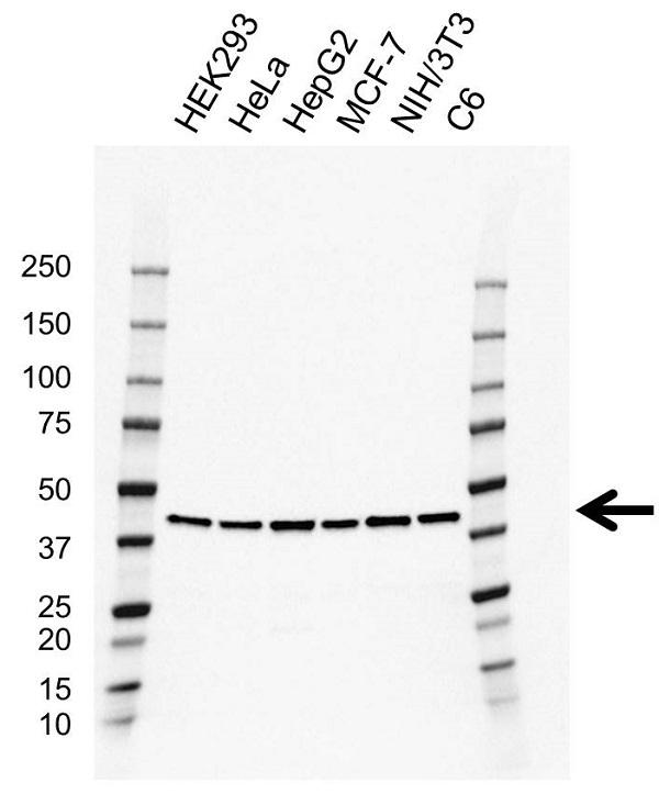 Anti CREB1 Antibody, clone EF03/2E2 (PrecisionAb Monoclonal Antibody) gallery image 1