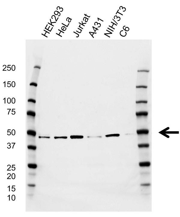 Anti CTBP2 Antibody, clone CD02/2B4 (PrecisionAb Monoclonal Antibody) gallery image 1