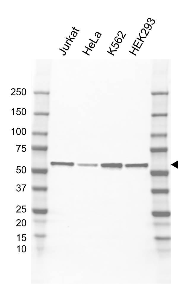 Anti Cyclin B1 Antibody, clone EF02/2D4-1 (PrecisionAb Monoclonal Antibody) gallery image 1